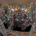 Spaltenkreuzspinne (Nuctenea umbratica), Spinne des Jahres 2017! - Araignée des fissures, portrait!