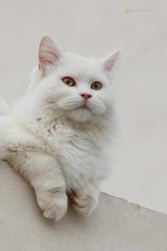 Spanische Dachkatze