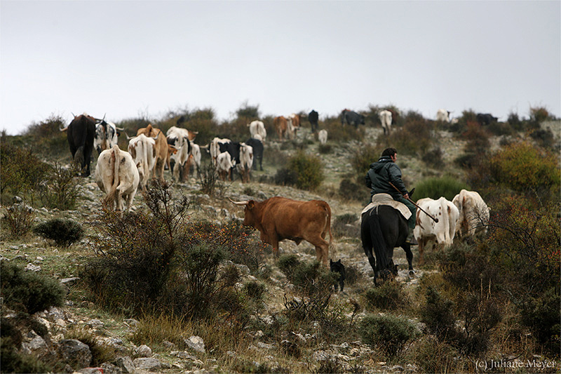 Spanische Stiere