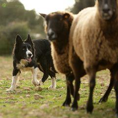 Spanischer Meister im Schafe Schubsen