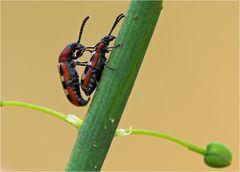 Spargelkäfer