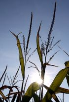 Sparkling Corn