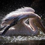 Sparkling pelican