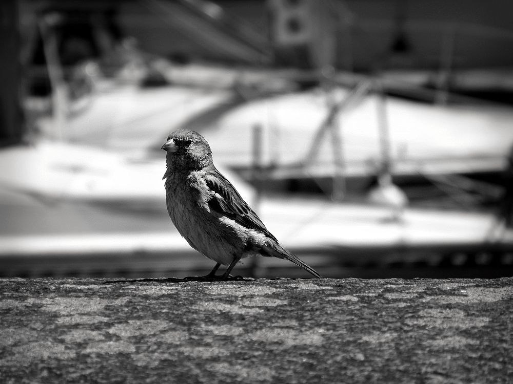 Sparrow in Honfleur