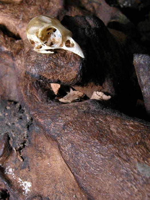 Sparrow Skull / Sperling Schädel