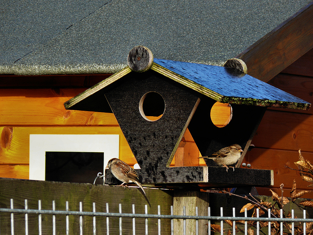 Sparrows in December day