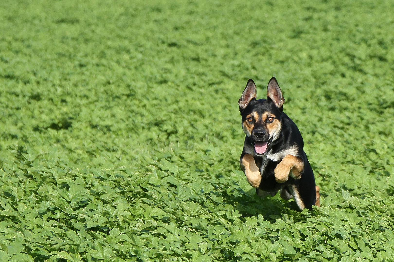 Spaß mit Hund im Feld #2