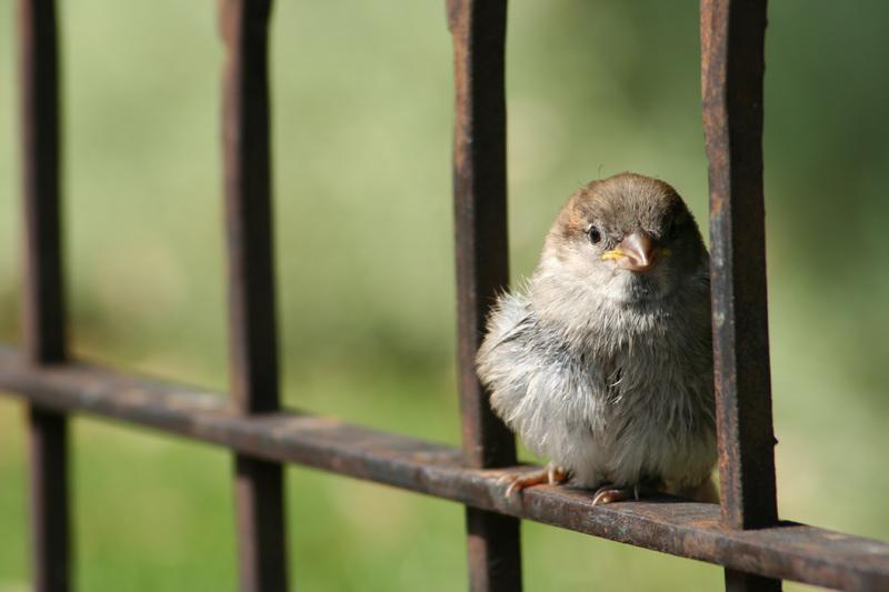 Spatz hinter Gittern