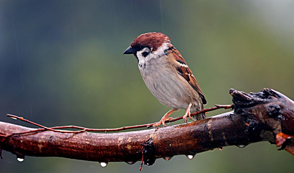 Spatz im Regen