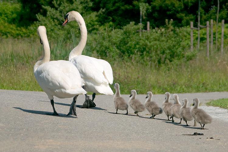 Spaziergang einer Schwanenfamilie