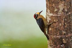 Specht, Acorn Woodpecker, Carpintero careto