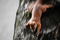 Speed-Eichhörnchen