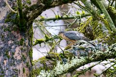 Sperber (Accipiter nisus)...