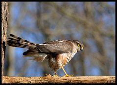 - Sperber - ( Accipiter nisus )