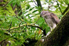 Sperber (Accipiter nisus)