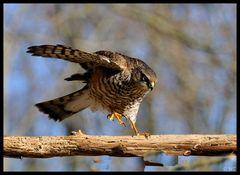 - Sperber männl. bei der Landung - ( Accipiter nisus )