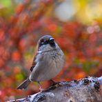 Sperling genießt den Herbst