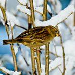 Sperling im Schnee