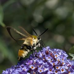 Sphinx bourdon sur Buddleia
