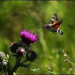 Sphinx colibri..
