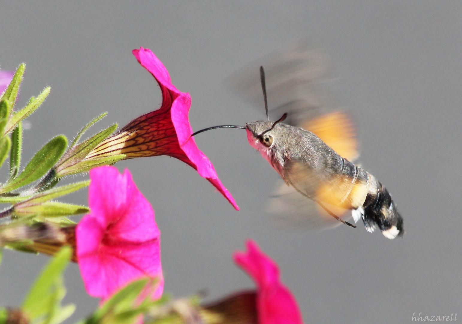 sphinx colibri