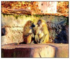 Sphinx-Paviane bei der Kontaktpflege
