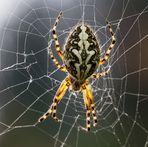 Spider..