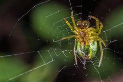 Spider Glubsch