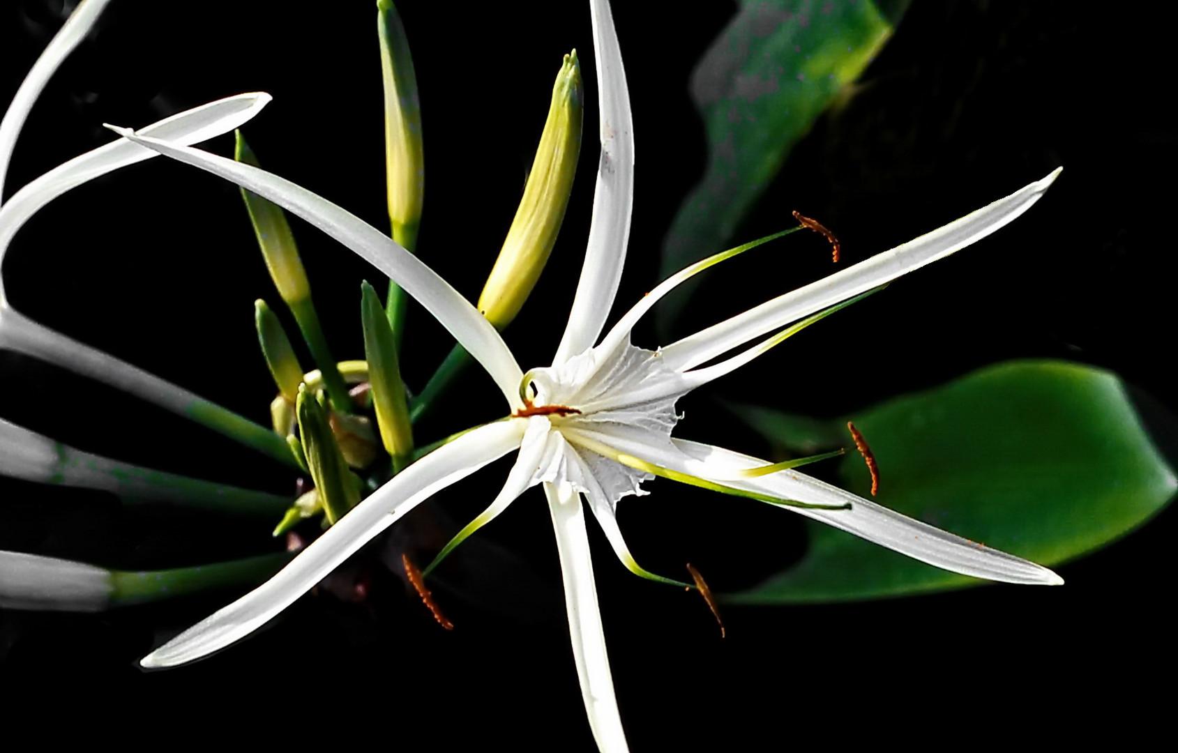 Spider Lily, Hymenoscallis Harrisiansa