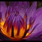spider lotus 01