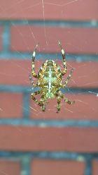 spider (man)