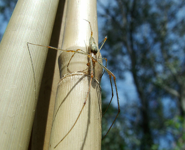 Spider on bamboo cane