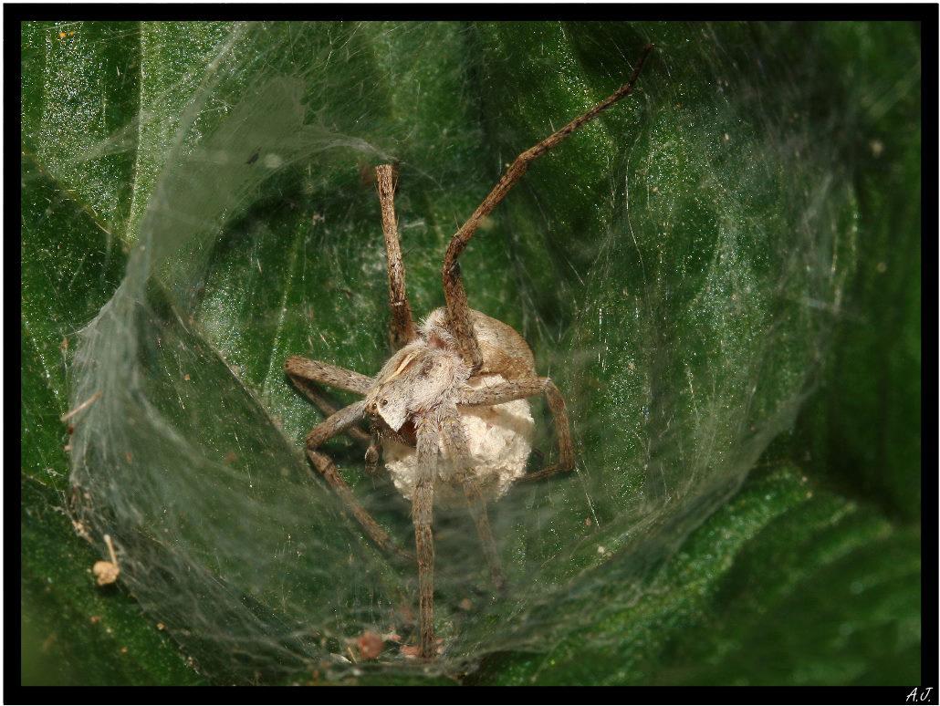 Spidermama