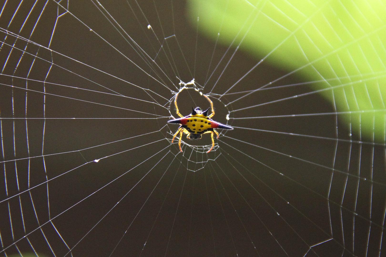Spiderman comes...