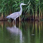 Spiegel im Schilf, reflection in the reeds,   reflexión en las cañas