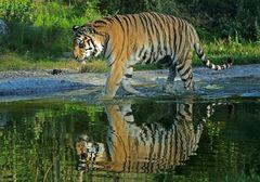 Spiegel-Tiger