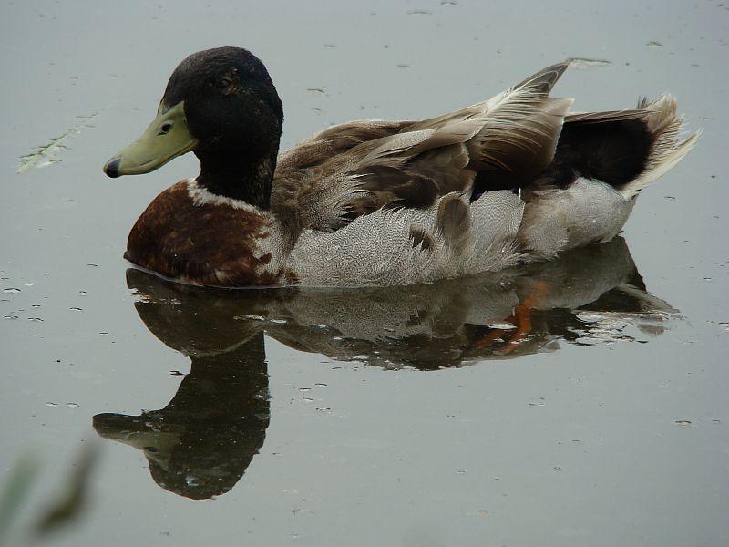 Spiegelbild einer Ente