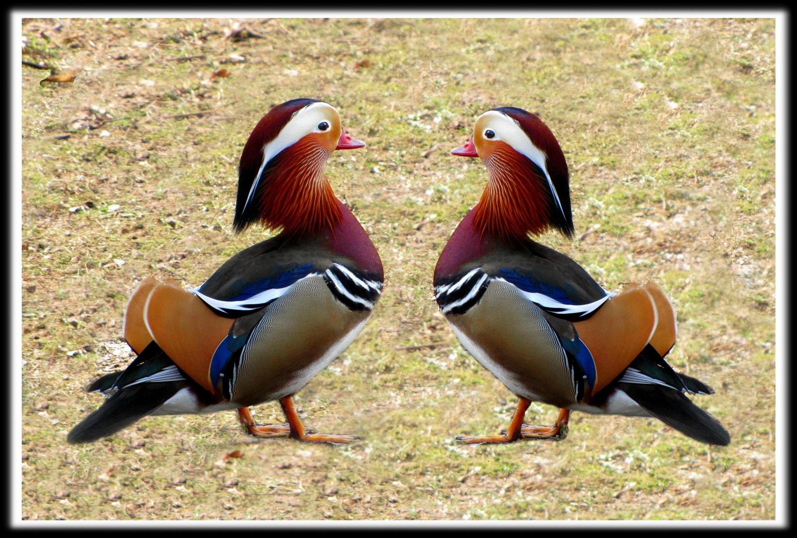 Spiegelbild (Mandarinente im Doppelpack)