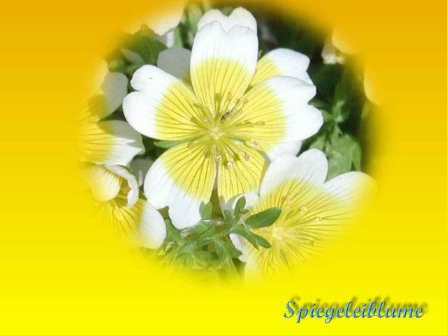 Spiegelei Blume