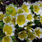 """Spiegelei-Blume"""" ( Limnanthes douglasii ssp. )"""