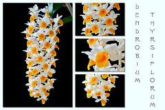 Spiegeleiorchideencollage