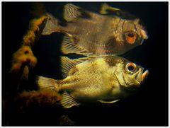 Spiegelfisch