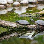 Spiegelkröten