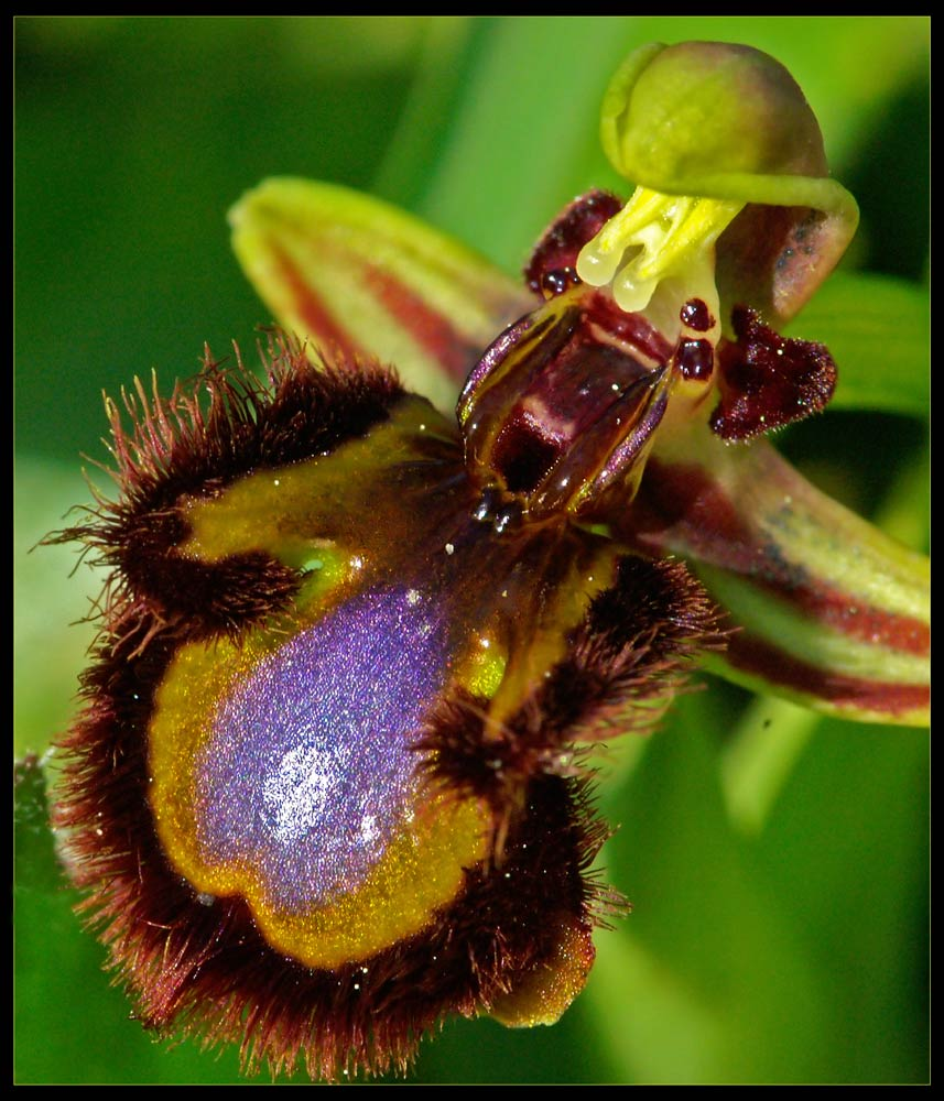Spiegelorchis Ophrys speculum