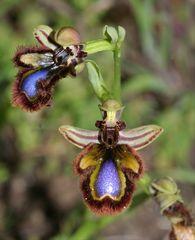 Spiegelragwurz (Ophrys speculum )