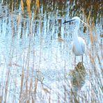 Spiegeltag 06.09.21  Seidenreiher (Egretta garzetta), Little egret, Garceta común