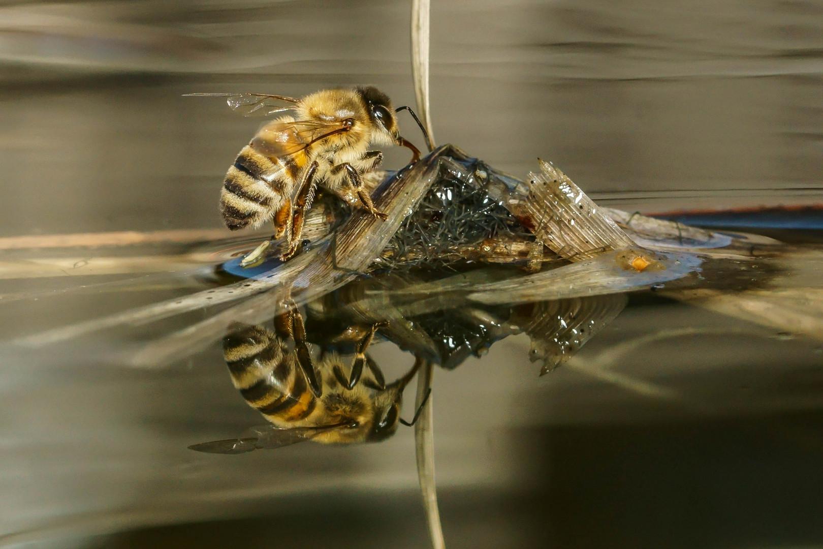 Spiegeltag - Biene am Wasser