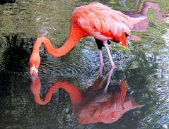Spiegeltag : Flamingo