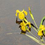 Spiegeltag - Schwertlilien