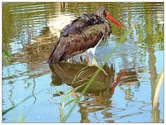 Spiegeltag- Wasservogel mit Spiegelbild